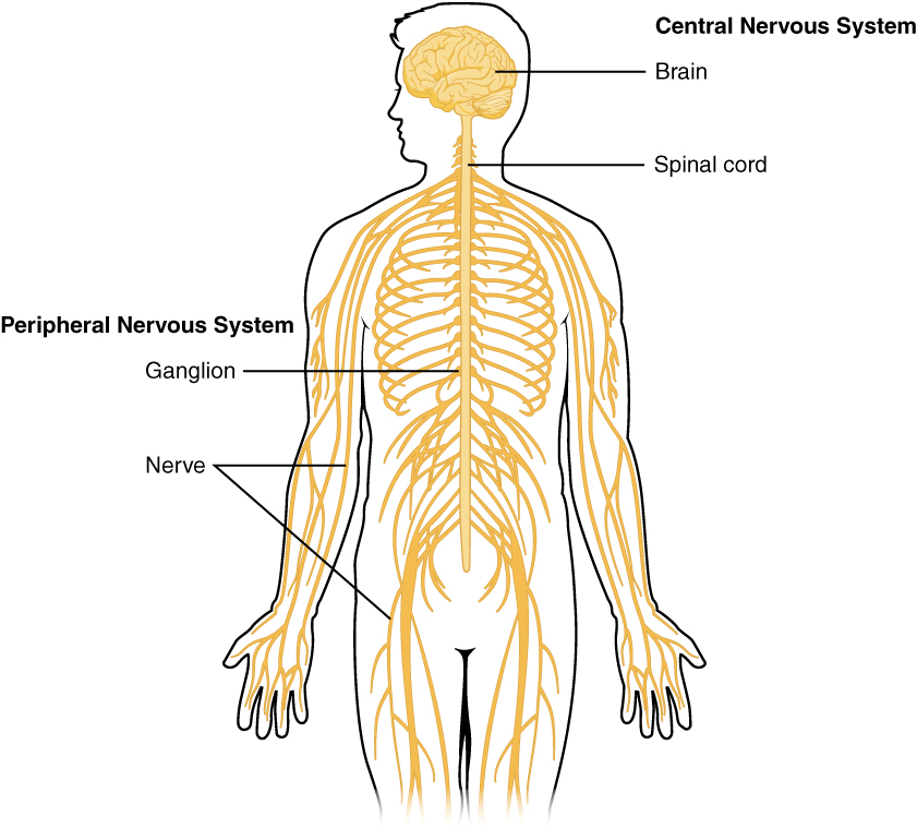 An overview of the Central Nervous System (CNS) including the brain and spinal cord and the Peripheral Nervous System (PNS) including the ganglion and nerves. Only peripheral nerves from extremities are currently donated, recovered, and used for transplantation.